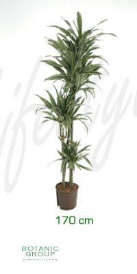 Dracaena deremensis drachenbaum mit stecken for Zimmer pflanzenversand