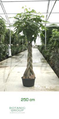 Pachira aquatica gl ckskastanie zimmerpflanze pflanzenversand pflanzenhandel pflanzen - Zimmerpflanze robust pflegeleicht ...