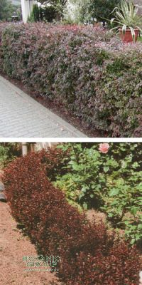 berberis thunbergii 39 atropurpurea 39 berberitze heckenpflanze pflanzenversand pflanzenhandel. Black Bedroom Furniture Sets. Home Design Ideas