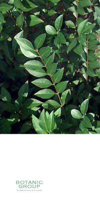 ligustrum vulgare 39 atrovirens 39 wintergr ner liguster heckenpflanze pflanzenversand. Black Bedroom Furniture Sets. Home Design Ideas