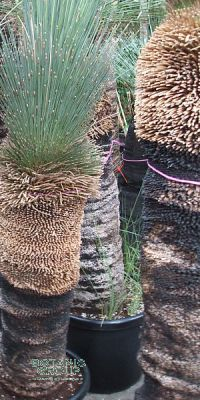 xanthorrhoea glauca grasbaum black boy zimmerpflanze pflanzenversand pflanzenhandel. Black Bedroom Furniture Sets. Home Design Ideas