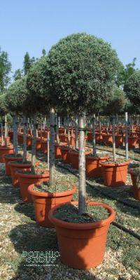 zypressen cupressus arizonica arizona zypresse. Black Bedroom Furniture Sets. Home Design Ideas