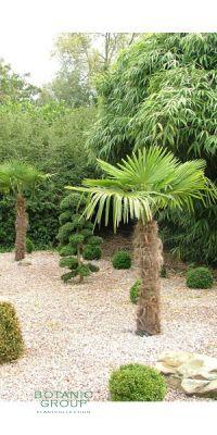 trachycarpus fortunei chinesische hanfpalme. Black Bedroom Furniture Sets. Home Design Ideas