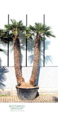 trithrinax campestris dreizackpalme pflanzenversand pflanzenhandel pflanzen pflanzgef e. Black Bedroom Furniture Sets. Home Design Ideas