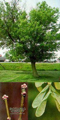 acer negundo eschen ahorn pflanzen pflanzgef e und stadtm blierung von botanicgroup. Black Bedroom Furniture Sets. Home Design Ideas