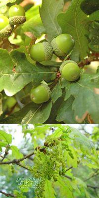 Quercus robur - Saplı Meşe, Alman Meşesi