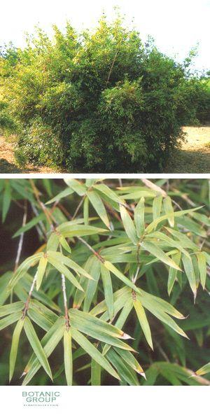 bambus bambusa multiplex pflanzenversand pflanzenhandel pflanzen pflanzgef e und. Black Bedroom Furniture Sets. Home Design Ideas
