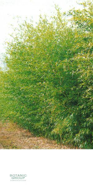 bambus phyllostachys bissetii pflanzenversand. Black Bedroom Furniture Sets. Home Design Ideas