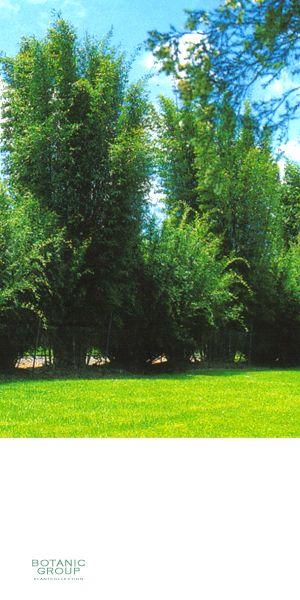 bambus bambusa oldhamii pflanzenversand. Black Bedroom Furniture Sets. Home Design Ideas