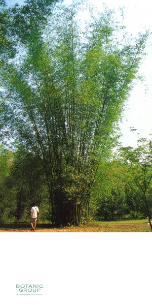 bambus bambusa textilis pflanzenversand. Black Bedroom Furniture Sets. Home Design Ideas