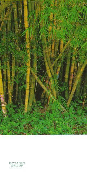 bambus bambusa vulgaris striata pflanzenversand. Black Bedroom Furniture Sets. Home Design Ideas