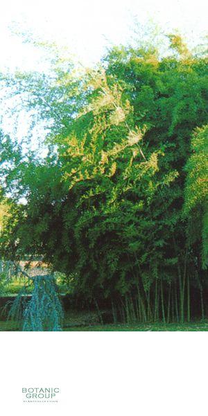 bambus phyllostachys nigra boryana pflanzenversand. Black Bedroom Furniture Sets. Home Design Ideas