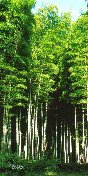 bambus phyllostachys pubescens pflanzenversand. Black Bedroom Furniture Sets. Home Design Ideas