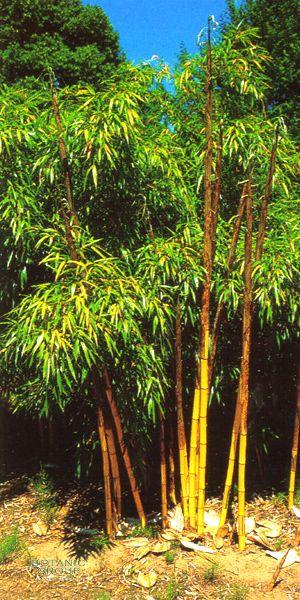 bambus phyllostachys vivax pflanzen pflanzgef e und. Black Bedroom Furniture Sets. Home Design Ideas