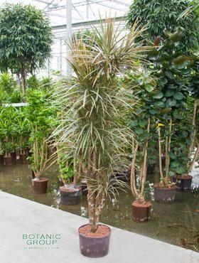 Dracaena bicolor drachenbaum verzweigt pflanzenversand for Pflanzenversand zimmerpflanzen