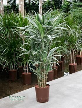Dracaena deremensis drachenbaum verweigt zimmerpflanze for Zimmer pflanzenversand