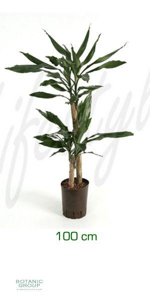 dracaena fragrans drachenbaum pflanzen pflanzgef e. Black Bedroom Furniture Sets. Home Design Ideas