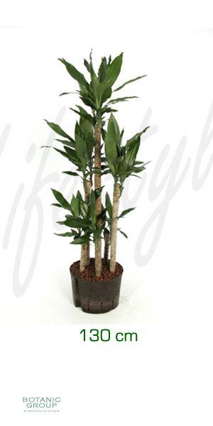 dracaena fragrans drachenbaum pflanzenversand. Black Bedroom Furniture Sets. Home Design Ideas