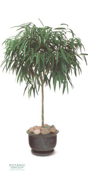 ficus alii feigenbaum pflanzenversand pflanzenhandel. Black Bedroom Furniture Sets. Home Design Ideas