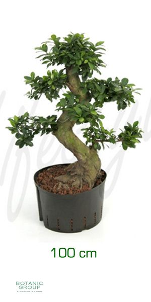 Ficus microcarpa bonsai feigenbaum mit stammgeflecht for Pflanzenversand zimmerpflanzen