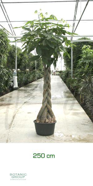 Pachira aquatica gl ckskastanie zimmerpflanze for Zimmer pflanzenversand