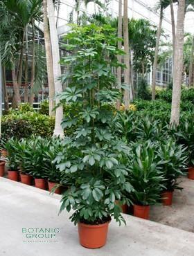 Schefflera arboricola schefflera strahlenaralie for Pflanzenversand zimmerpflanzen