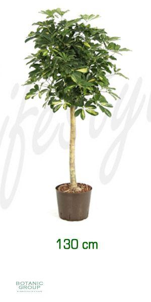 Schefflera gold capella schefflera strahlenaralie for Pflanzenversand zimmerpflanzen