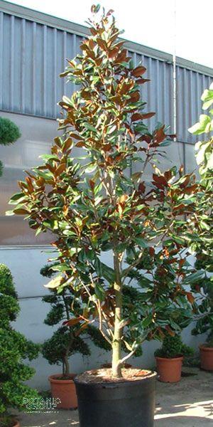 magnolia grandiflora ferruginea magnolie pflanzenversand pflanzenhandel pflanzen. Black Bedroom Furniture Sets. Home Design Ideas