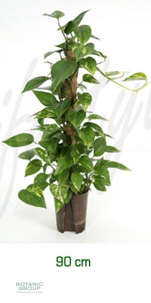 Scindapsus aureus efeutute ranker am moosstab for Pflanzenversand zimmerpflanzen