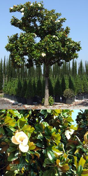 magnolia grandiflora galisoniensis magnolie. Black Bedroom Furniture Sets. Home Design Ideas