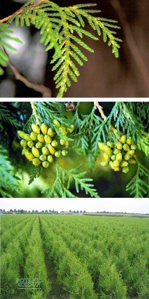 thuja occidentalis 39 smaragd 39 s ulen lebensbaum. Black Bedroom Furniture Sets. Home Design Ideas