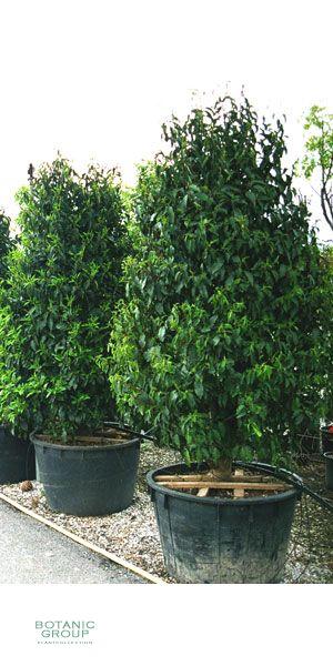 prunus lusitanica portugiesischer kirschlorbeer pflanzenversand pflanzenhandel pflanzen. Black Bedroom Furniture Sets. Home Design Ideas