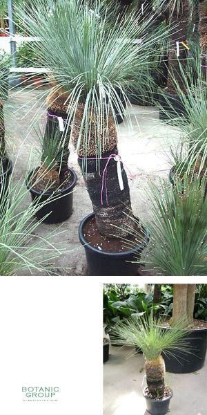 xanthorrhoea glauca grasbaum black boy zimmerpflanze pflanzenversand pflanzenhandel. Black Bedroom Furniture Sets. Home Design Ideas