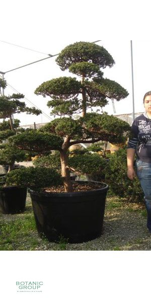 taxus cuspidata gartenbonsai japanische eibe. Black Bedroom Furniture Sets. Home Design Ideas