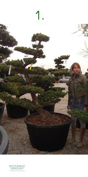 Pinus pentaphylla bonsai japanische m dchenkiefer pflanzenversand pflanzenhandel pflanzen - Japanische zimmerpflanzen ...