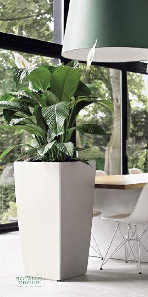 Spathiphyllum figaro im pflanzgef pflanzenversand for Zimmer pflanzenversand