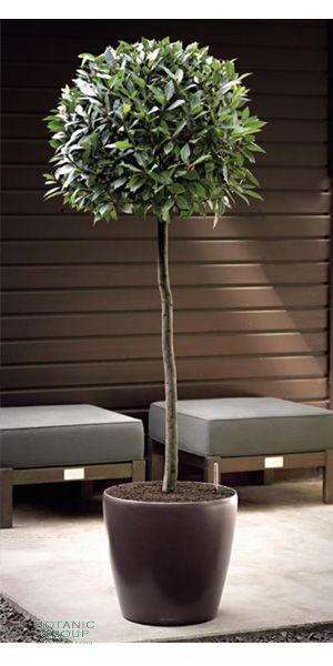 laurus nobilis lorbeerbaum im pflanzgef pflanzenversand pflanzenhandel pflanzen. Black Bedroom Furniture Sets. Home Design Ideas