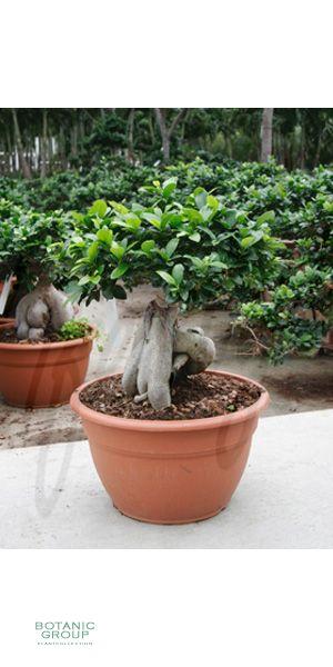 ficus microcarpa ginseng ficus bonsai pflanzenversand pflanzenhandel pflanzen. Black Bedroom Furniture Sets. Home Design Ideas