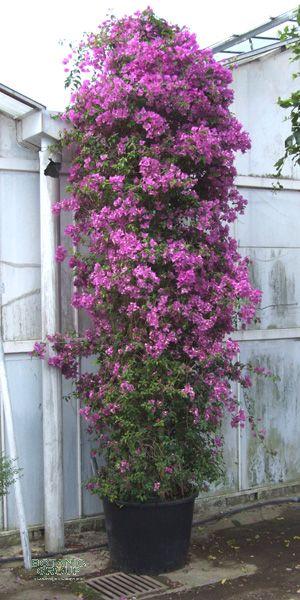 bougainvillea glabra 39 sanderina 39 pflanzen pflanzgef e. Black Bedroom Furniture Sets. Home Design Ideas