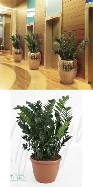 Zamioculcas zamiifolia im exklusiven pflanzgef for Pflanzenversand zimmerpflanzen