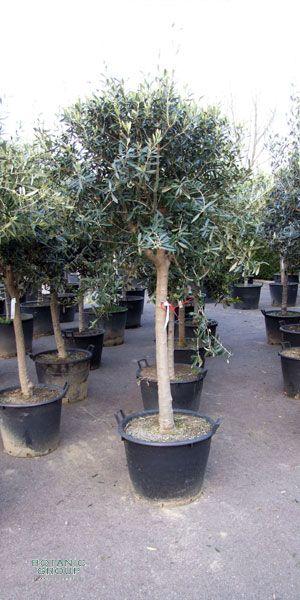 olea europea olivenbaum kugel auf stamm pflanzenversand pflanzenhandel pflanzen. Black Bedroom Furniture Sets. Home Design Ideas