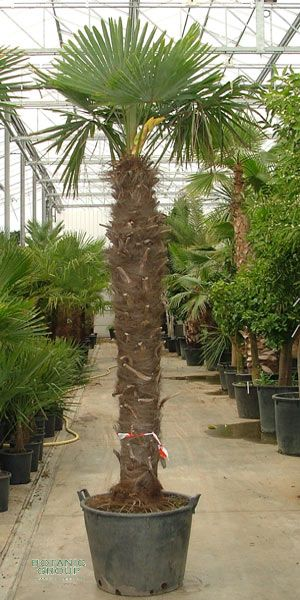 trachycarpus fortunei chinesische hanfpalme pflanzenversand pflanzenhandel pflanzen. Black Bedroom Furniture Sets. Home Design Ideas