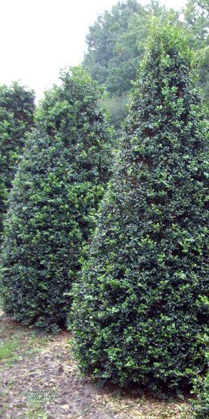 buxus sempervirens arborescens kegel schnitt