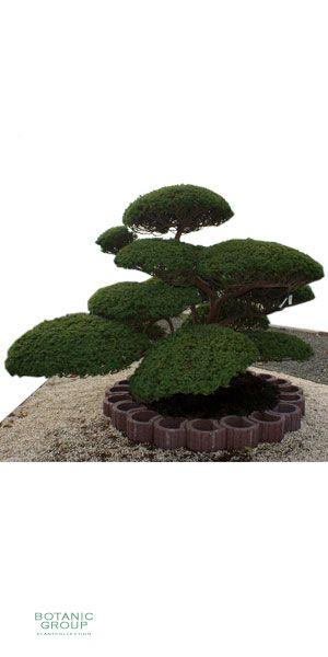 taxus cuspidata gartenbonsai japanische eibe pflanzen. Black Bedroom Furniture Sets. Home Design Ideas