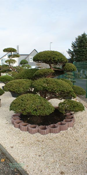 taxus cuspidata gartenbonsai japanische eibe pflanzen. Black Bedroom Furniture Sets. Home Design Ideas