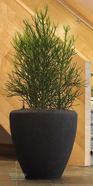 Euphorbia tirucalli bleistiftstrauch im exklusiven for Pflanzenversand zimmerpflanzen