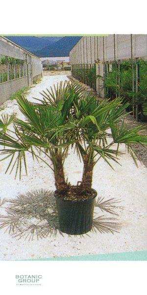 trachycarpus fortunei chinesische hanfpalme pflanzen pflanzgef e und stadtm blierung von. Black Bedroom Furniture Sets. Home Design Ideas