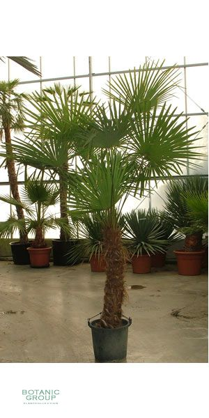 trachycarpus fortunei chinesische hanfpalme pflanzen. Black Bedroom Furniture Sets. Home Design Ideas