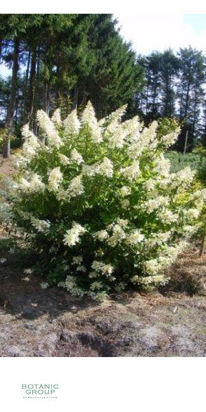 hydrangea macrophylla mathilde gartenhortensie. Black Bedroom Furniture Sets. Home Design Ideas