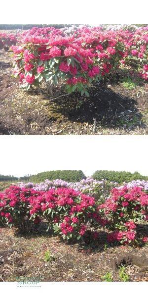 bl hender strauch rhododendron xxl extragro nova zembler pflanzen pflanzgef e und. Black Bedroom Furniture Sets. Home Design Ideas